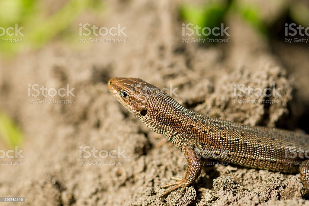 Macro of tiny lizard in the forest temperate zone stock photo
