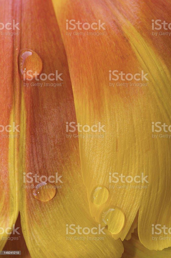Macro of Tulip petals with water drops stock photo