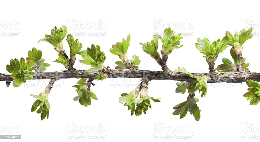 Macro of twig with fresh spring leaves royalty-free stock photo