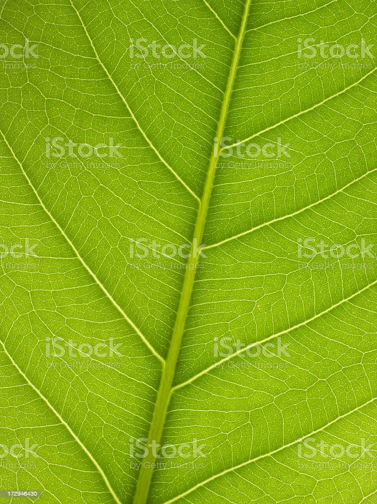 A macro of veins on a green leaf royalty-free stock photo