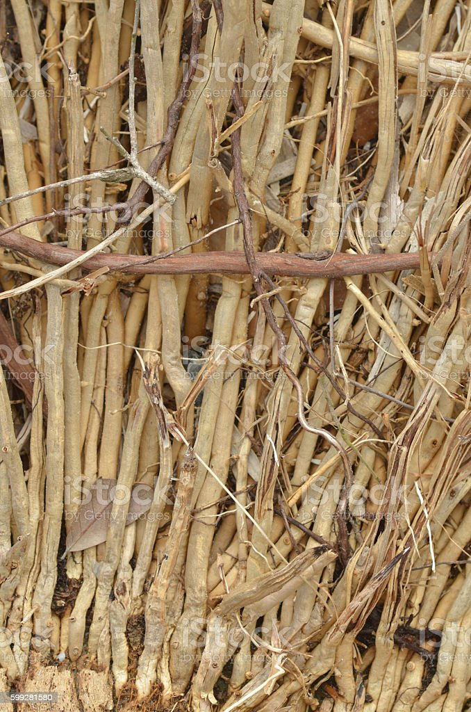 Macro of  vertical sabal palm roots  with one horizontal stock photo
