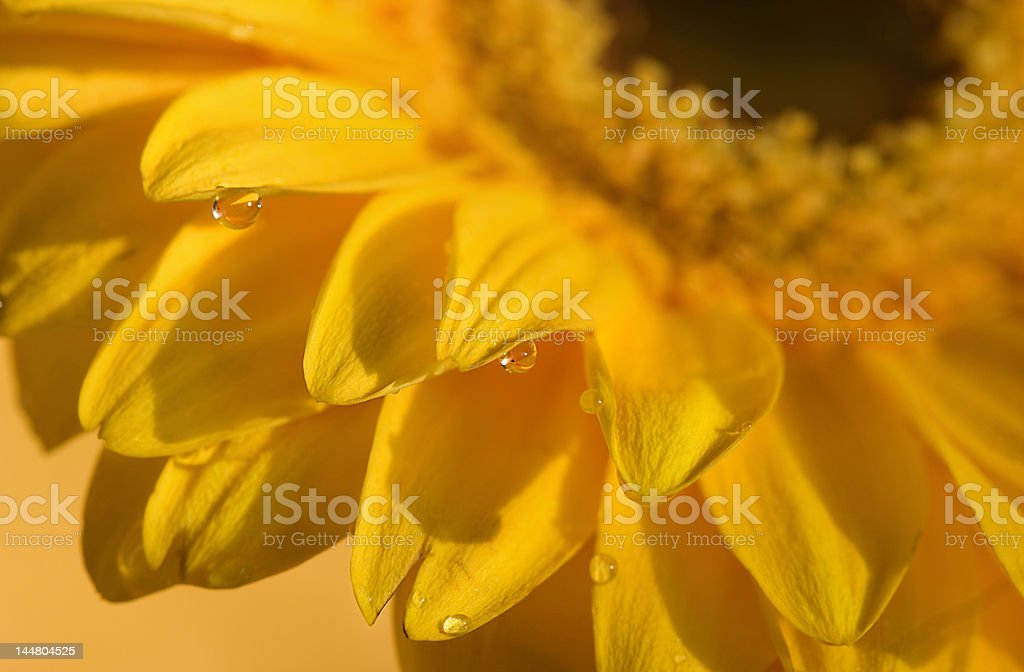 macro of water droplets on yellow daisy royalty-free stock photo
