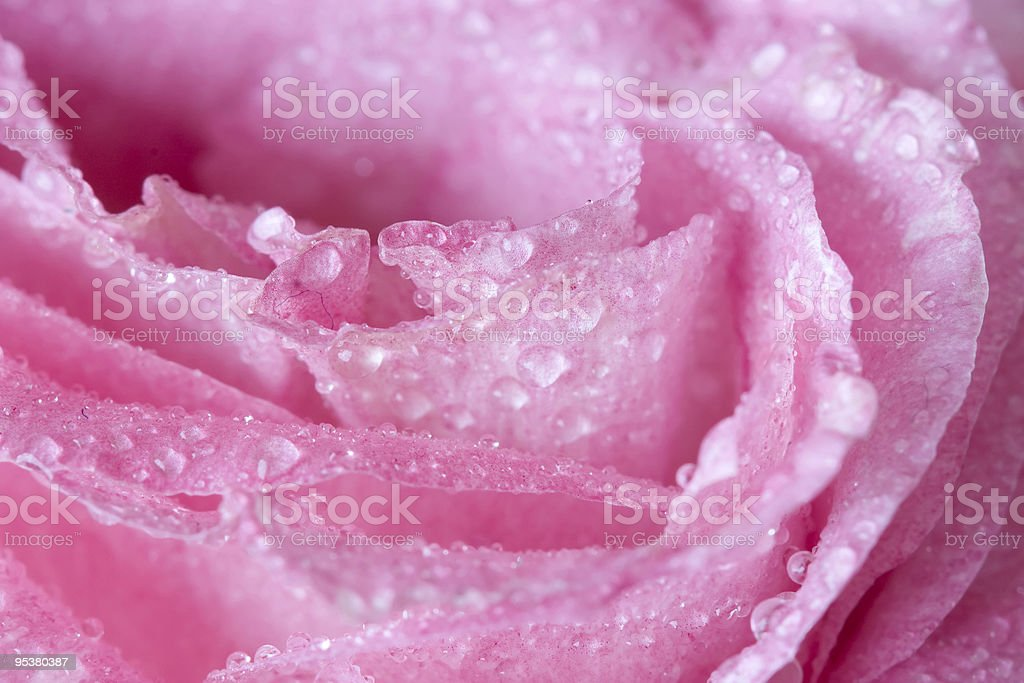 macro of wet flower royalty-free stock photo