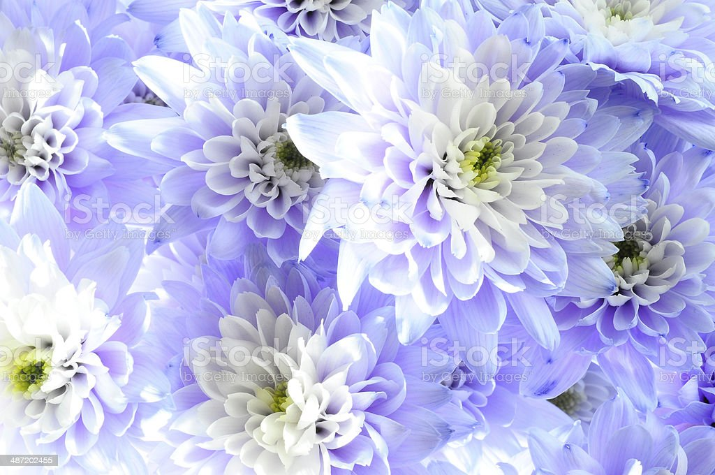 Macro of white and blue flower aster stock photo