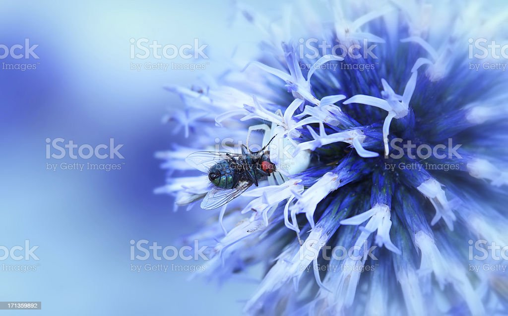 Macro Of White Flower Spider Eating A Fly royalty-free stock photo