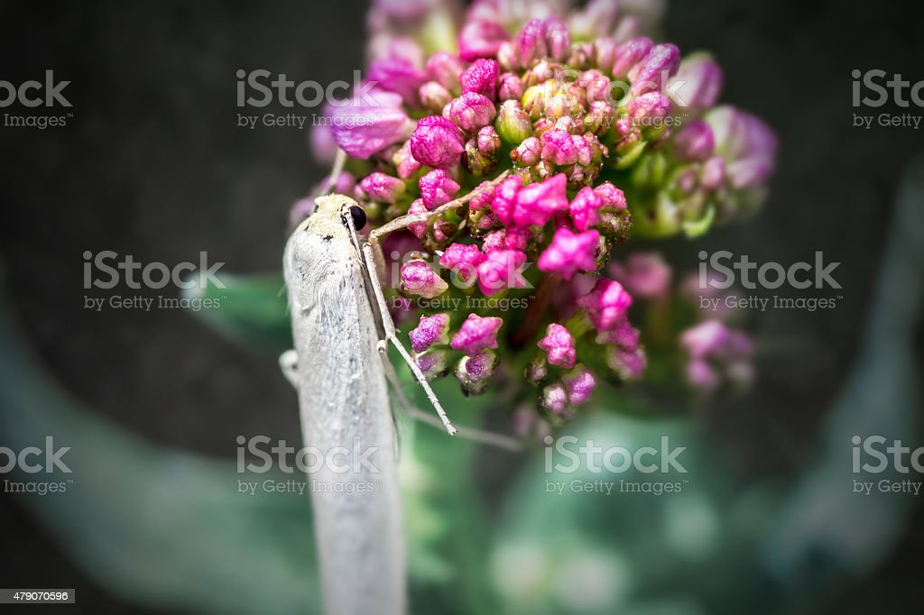 Macro of white night butterfly insect on valerian pink flower stock photo