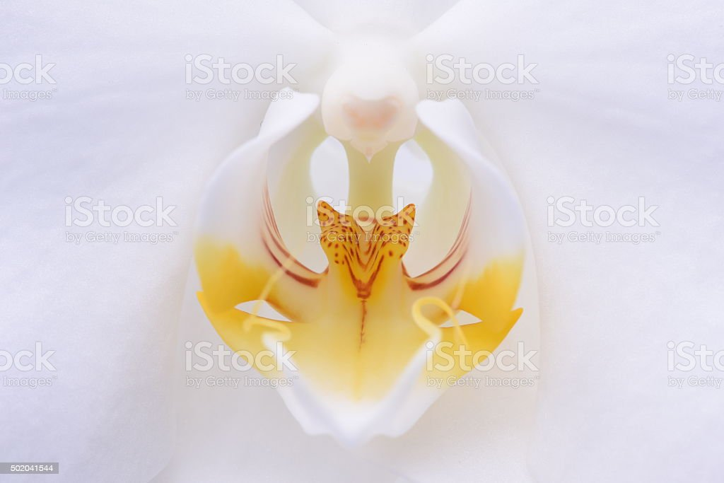 Macro of white orchid flower stock photo