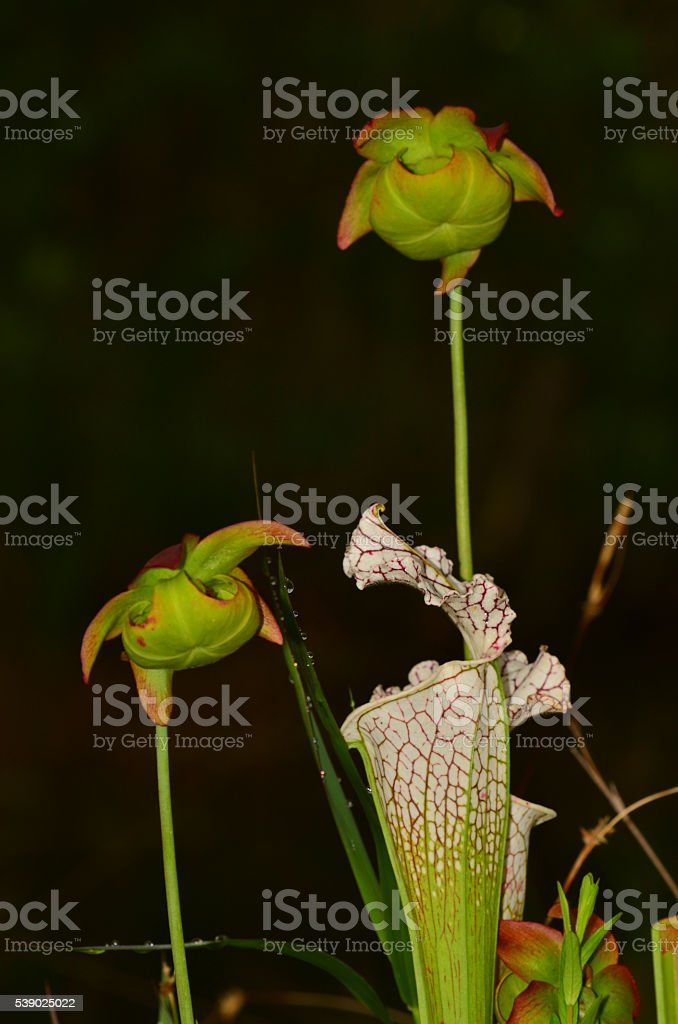 Macro of White Top pitcher plant trumpet and two flowers stock photo