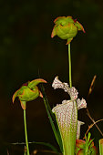 Macro of White Top pitcher plant trumpet and two flowers