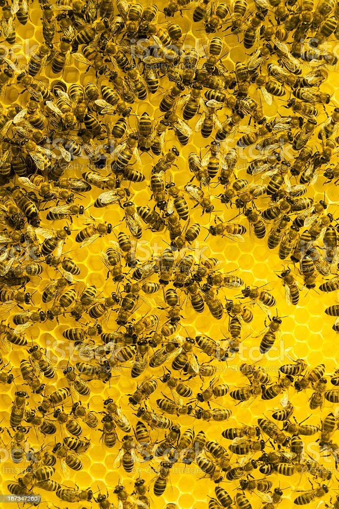 Macro of working bee on honeycells royalty-free stock photo