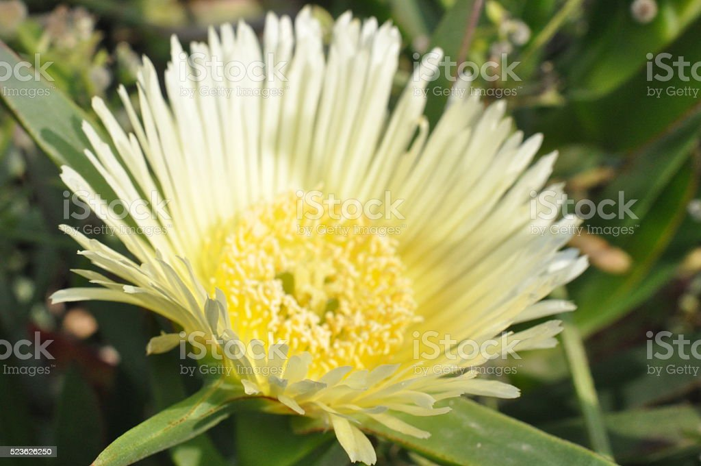 Macro of Yellow Ice Plant Flowers Abloom stock photo