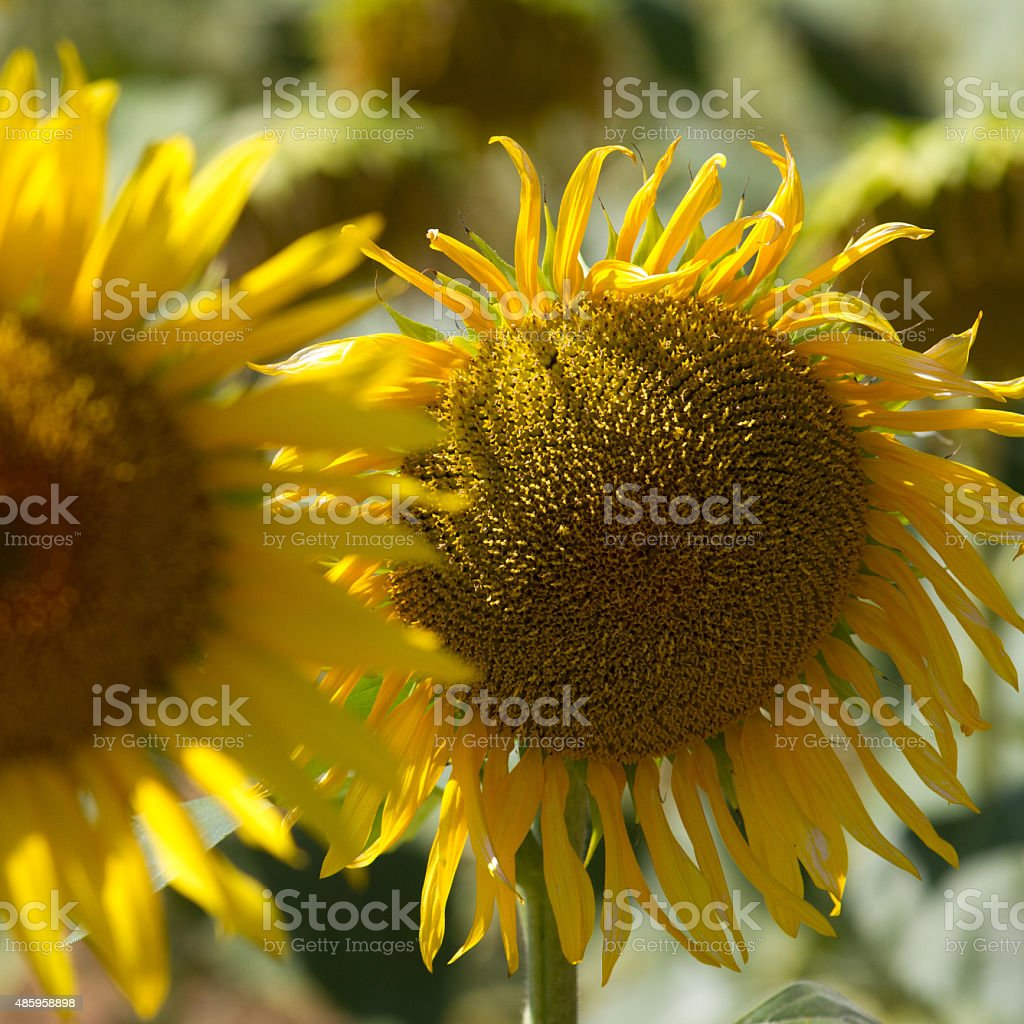 macro on two genuine sunflowers in sunny daylight stock photo