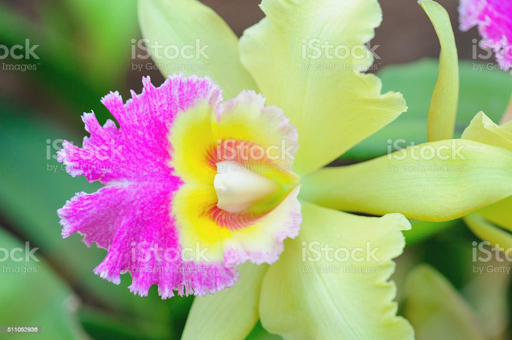 Macro orchid background stock photo