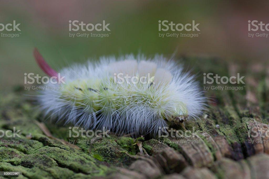 Macro - Pale Tussock (Calliteara pudibunda) Moth Caterpillar stock photo