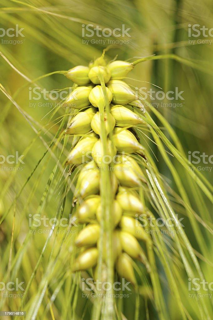 macro photo about a wheat royalty-free stock photo