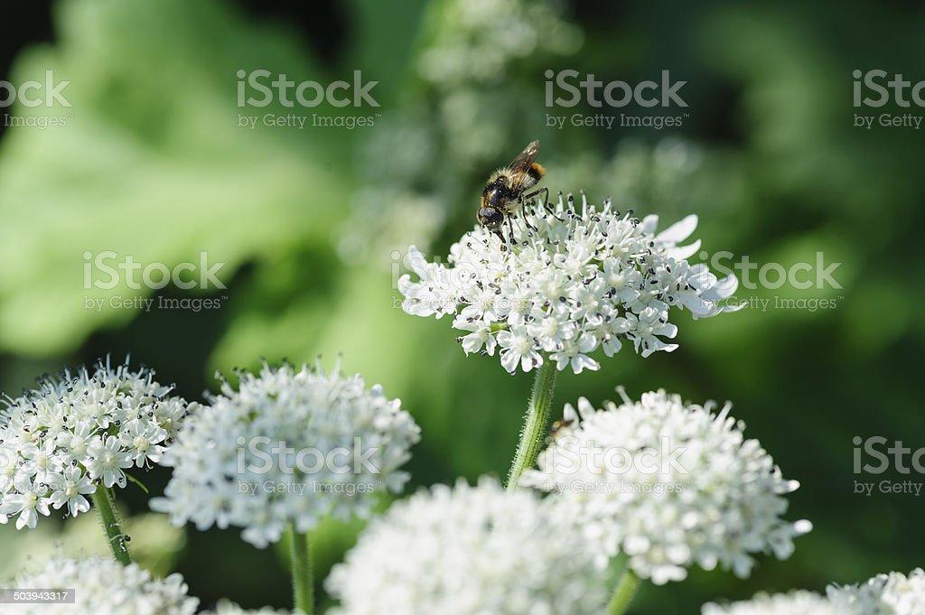 macro photo bee on a white hortensia stock photo