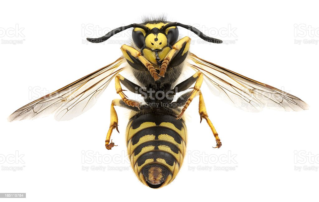 Macro photo of a black and yellow wasp stock photo