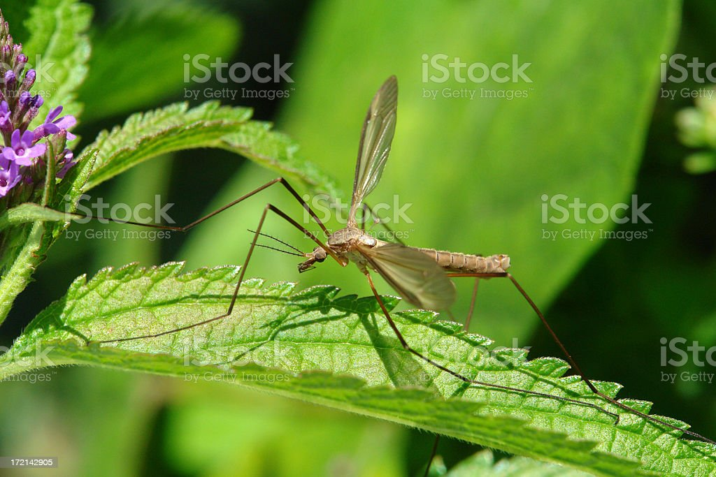 Macro photo of a crane fly on a leaf royalty-free stock photo
