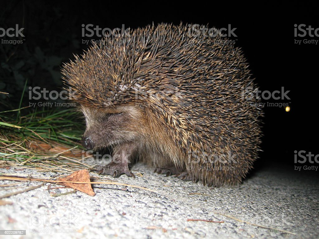 macro photo of a hedgehog with thorns on black background stock photo
