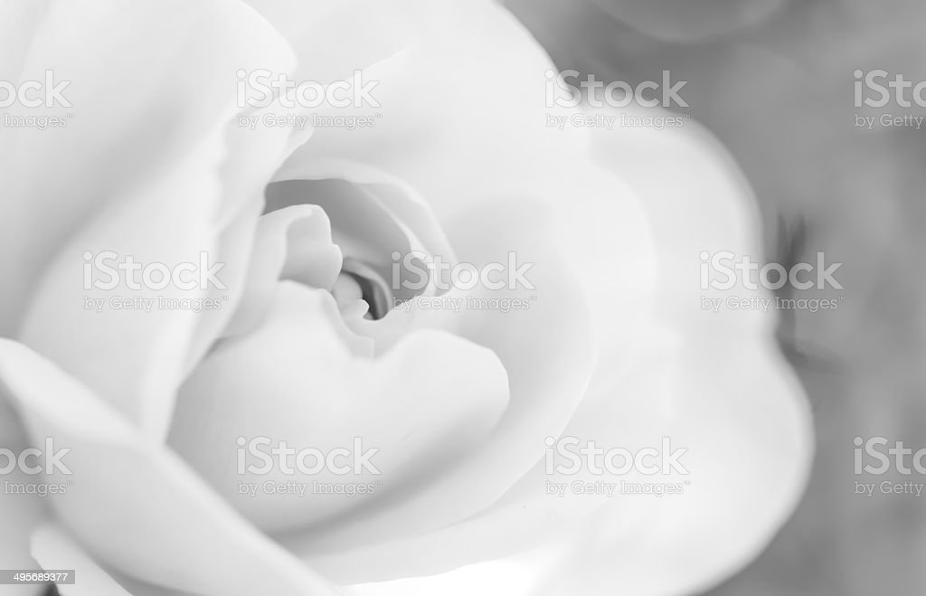 macro photo of a rose royalty-free stock photo