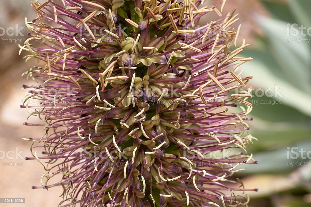 Macro photo of agave flower, Lloret de Mar, park, outdoor stock photo