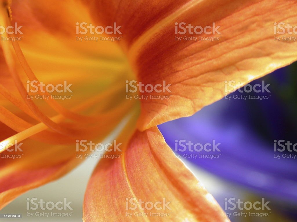 Macro photo of an orange lily in a blue vase royalty-free stock photo