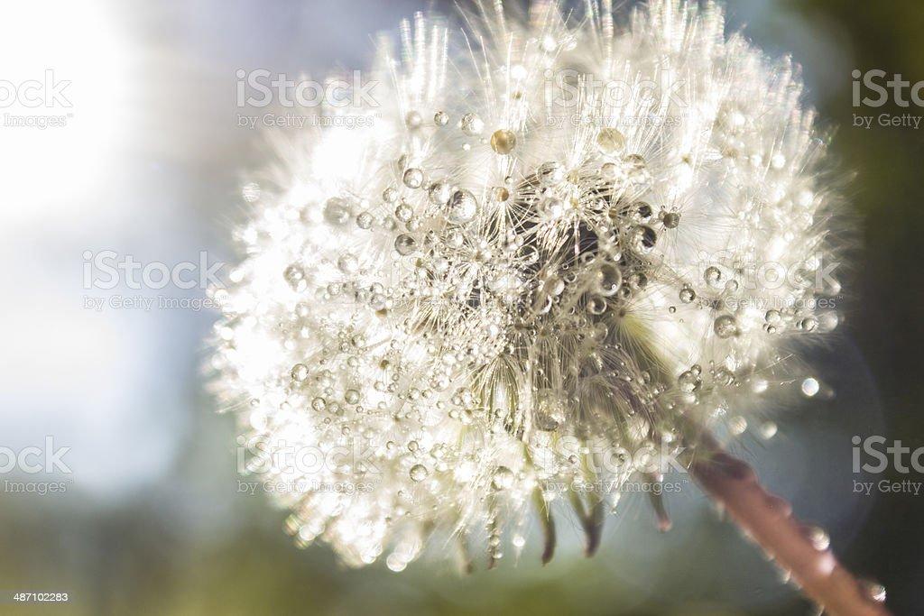 Macro photo of dandelion with morning dew stock photo
