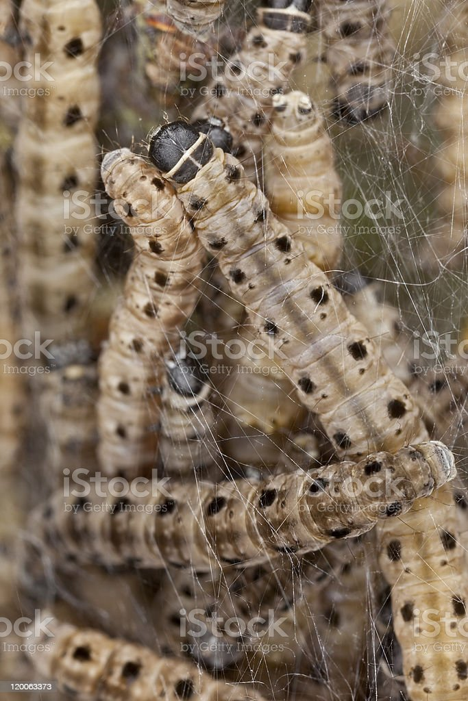 Macro photo of Ermine moth lavae in communal web stock photo