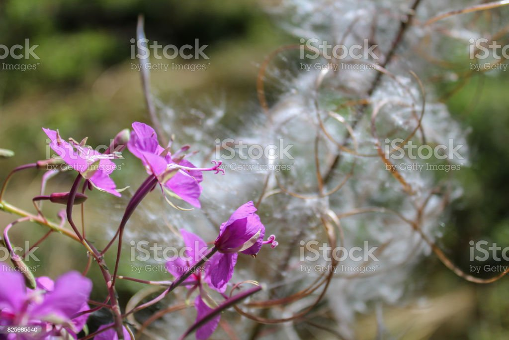 Macro photo of flower fluff with petal in front stock photo