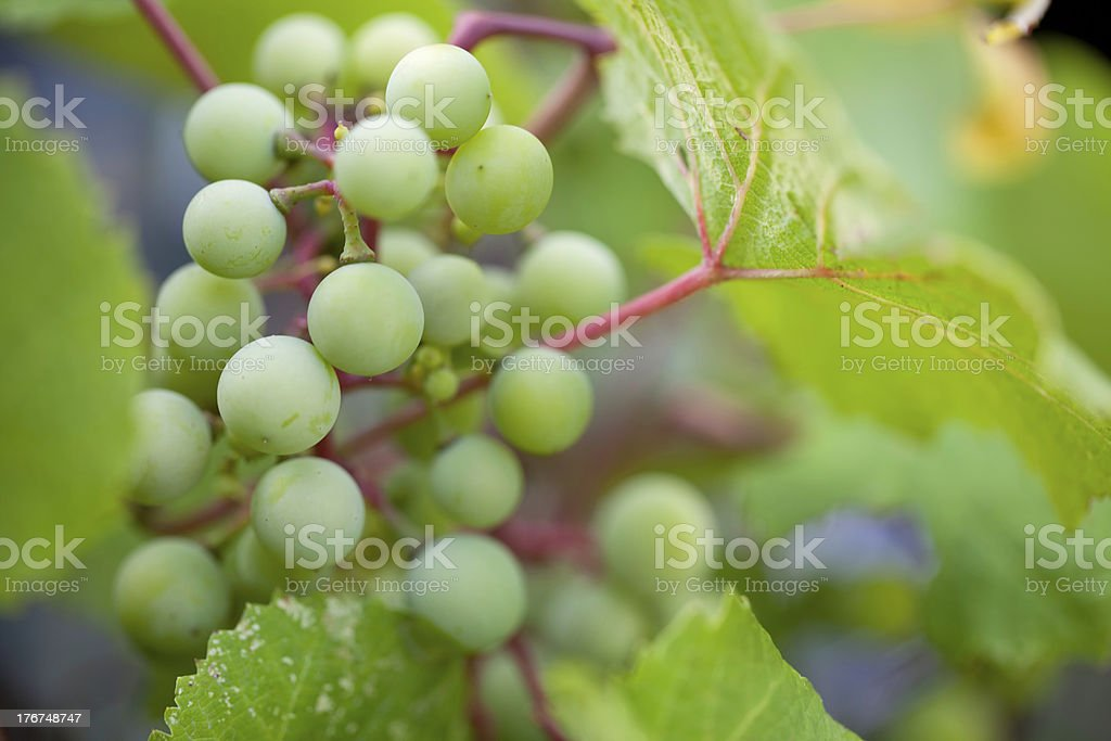 macro photo of grapes ripening on the vine stock photo
