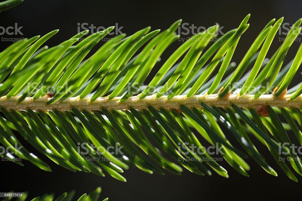 Macro photo of spruce needles. stock photo