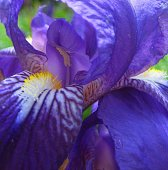 macro photo of the structure of the Iris flower for backgrounds