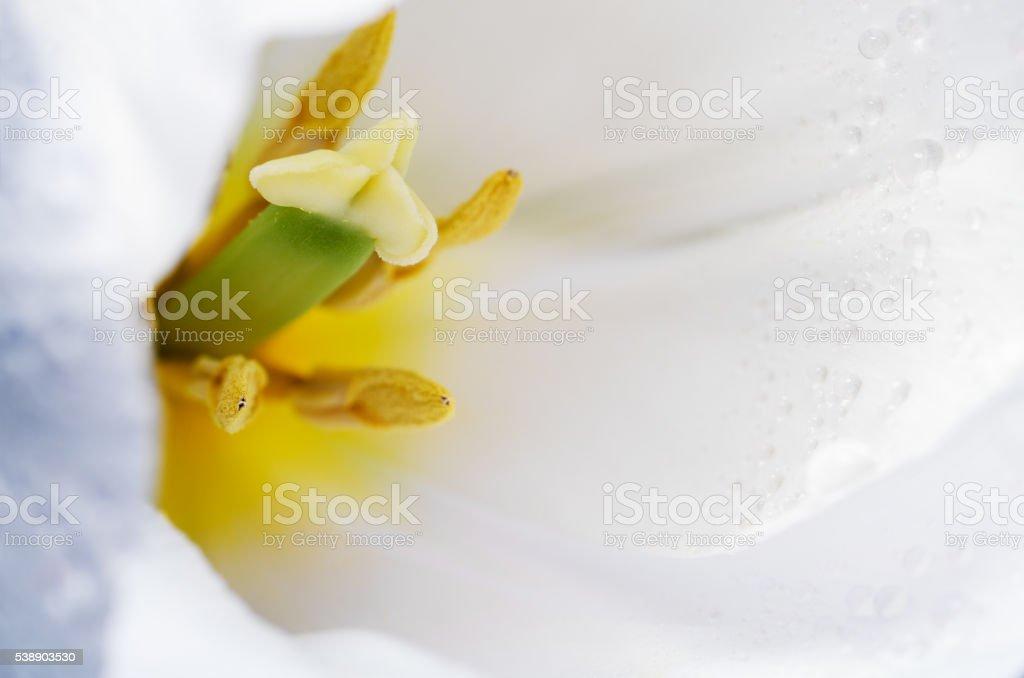 macro photo petals, pestle and stamen of white tulip stock photo