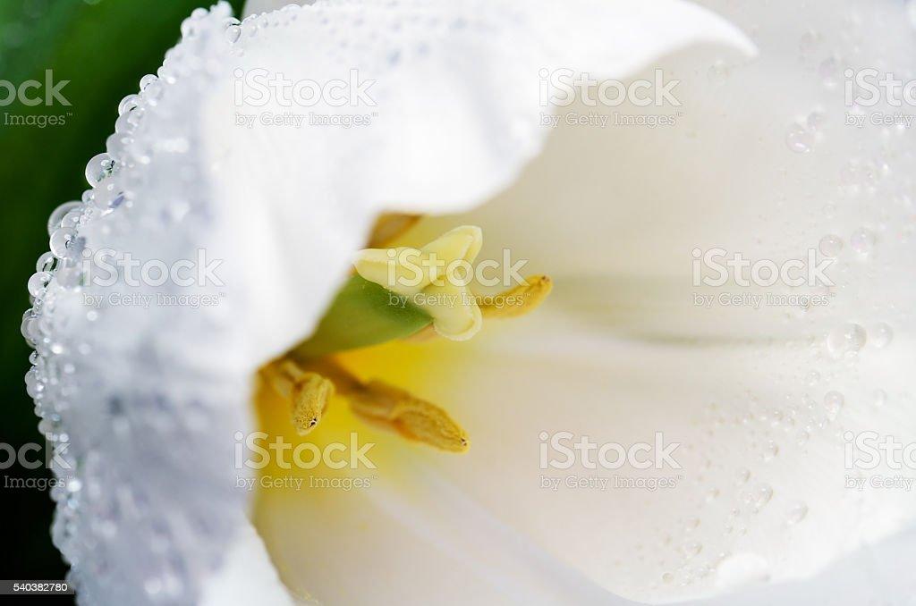 macro photo white tulip head on a full background horizontal stock photo
