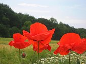 Macro photo with scarlet Poppies in a wooded landscape