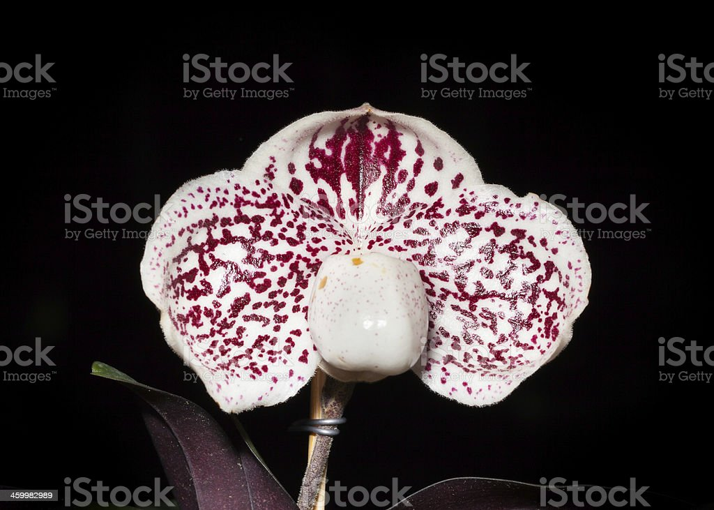 Macro photography of orchid royalty-free stock photo