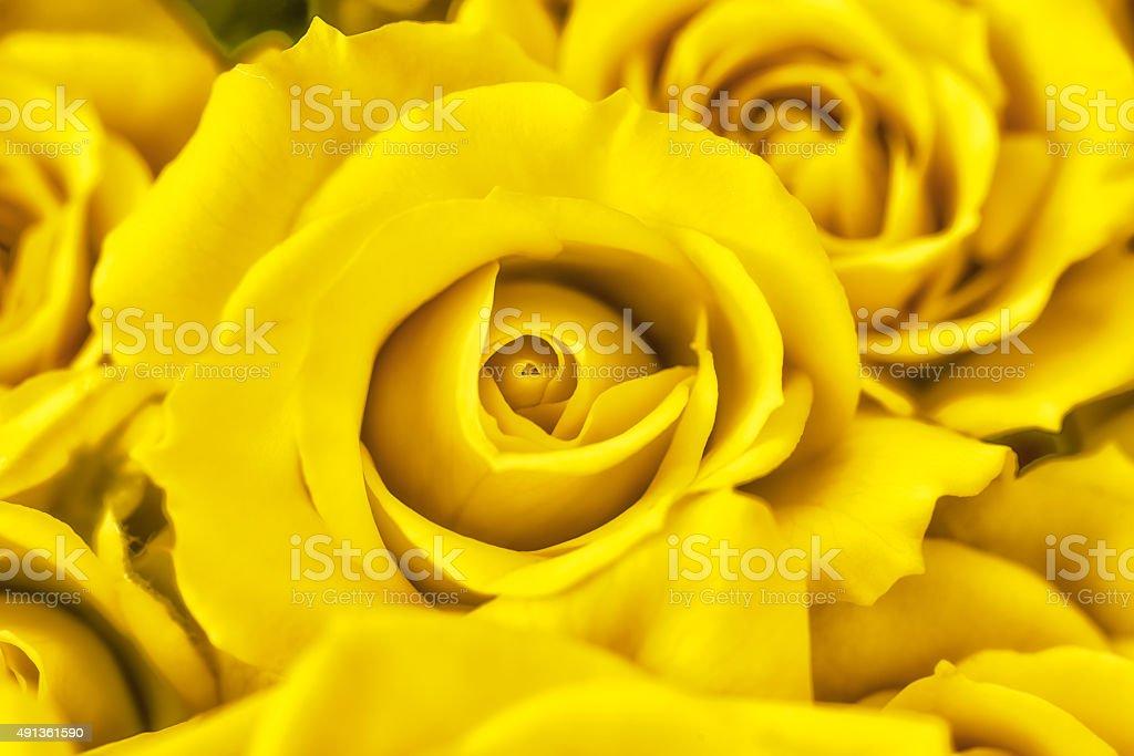 Macro photography yellow rose petals stock photo