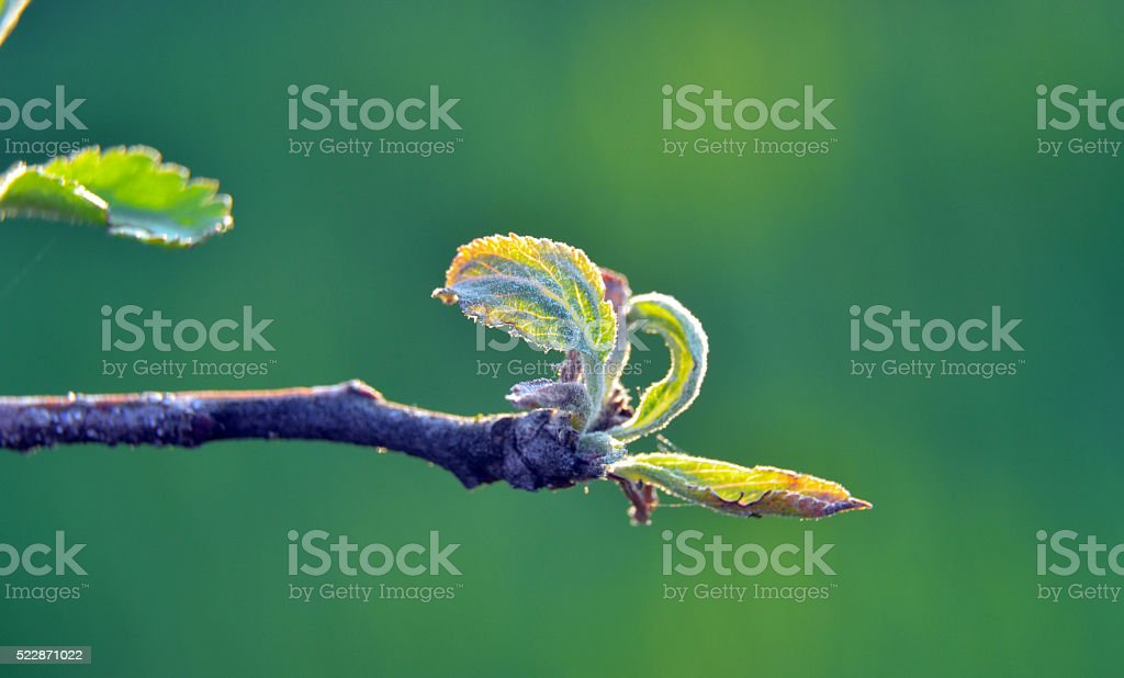 Macro picture of an apple bud with leaves stock photo
