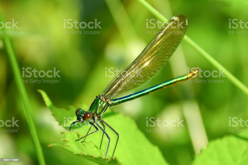 Macro picture of dragonfly on the leave. stock photo