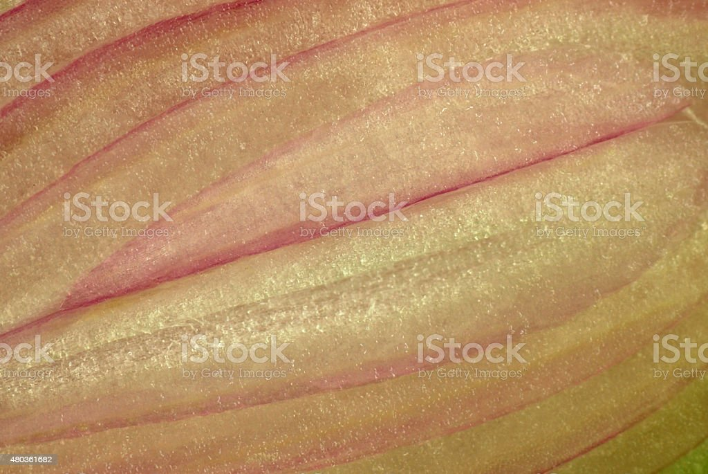 Macro picture of one Shallot slice stock photo