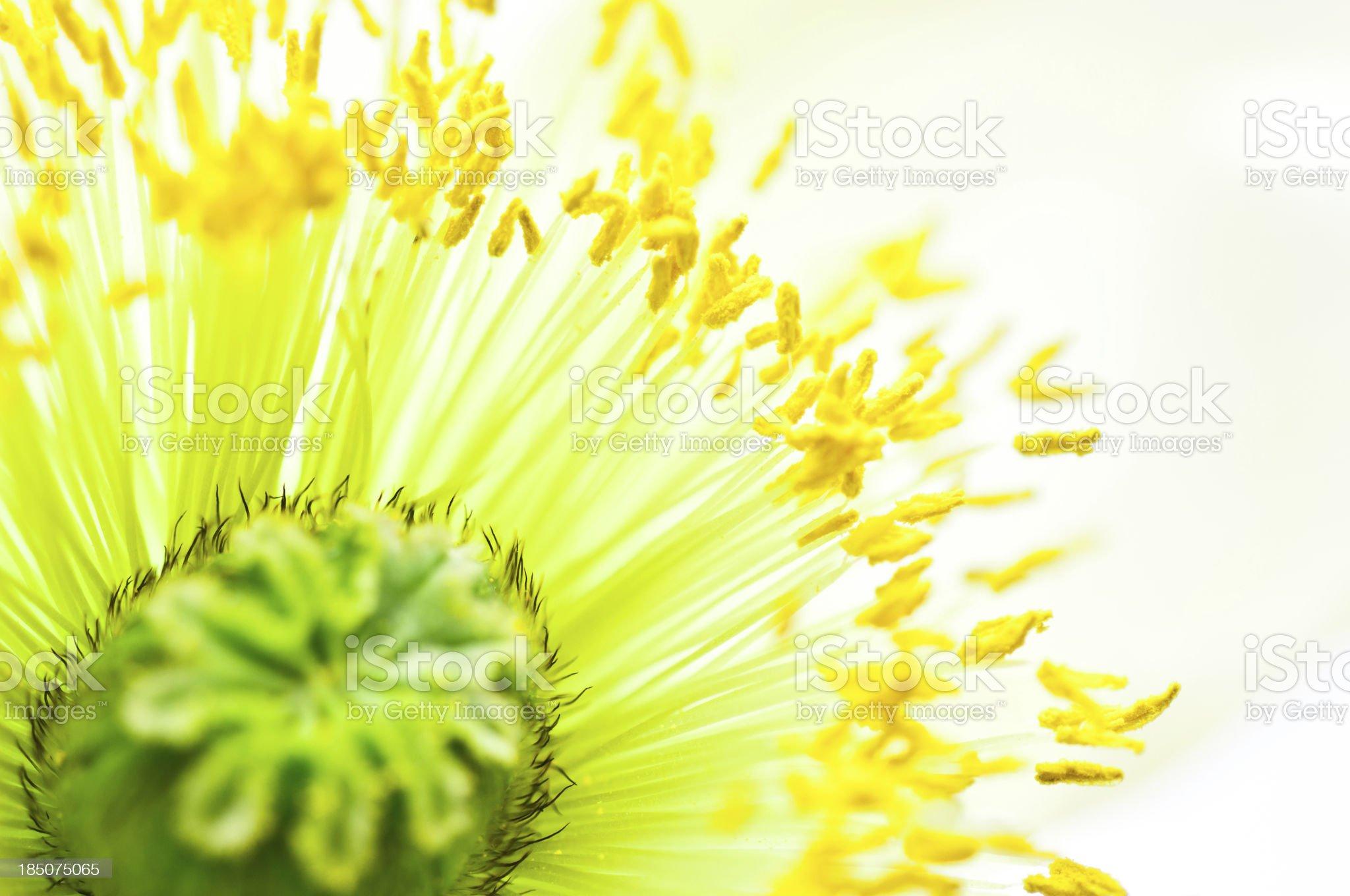 macro poppy flower shot royalty-free stock photo
