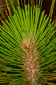 Macro profile view of Loblolly pine branch tip with needles