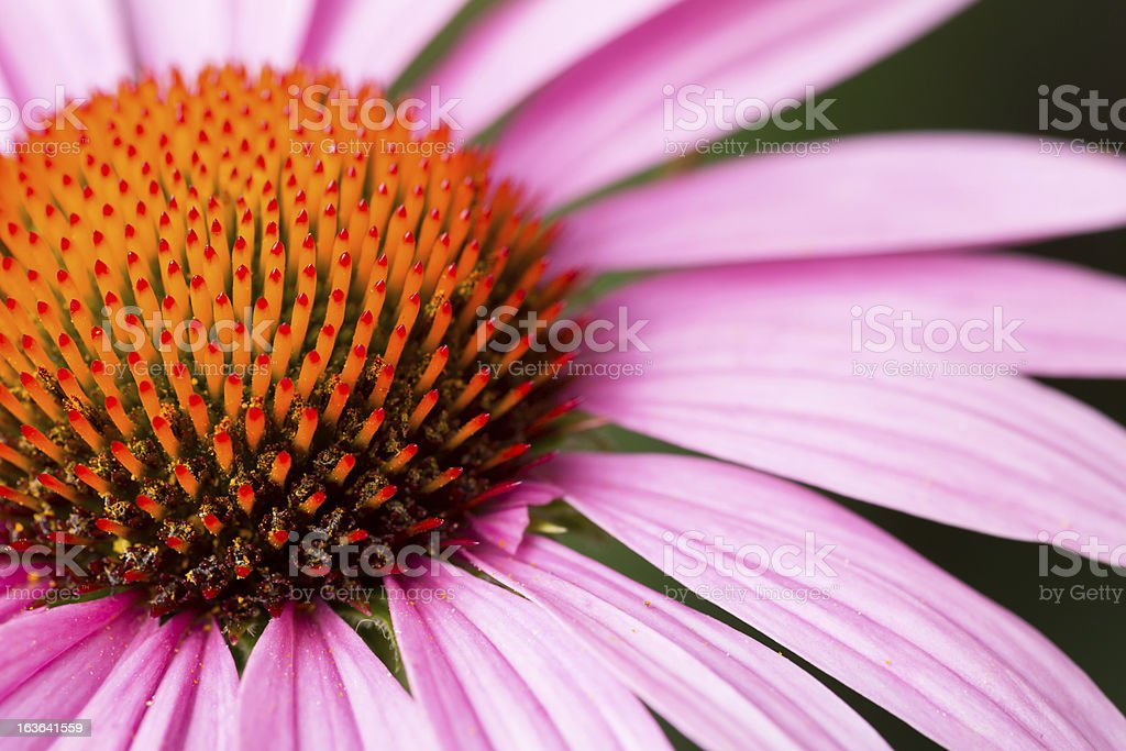 Macro purple cornflower stock photo