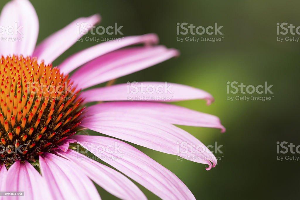 Macro purple cornflower royalty-free stock photo