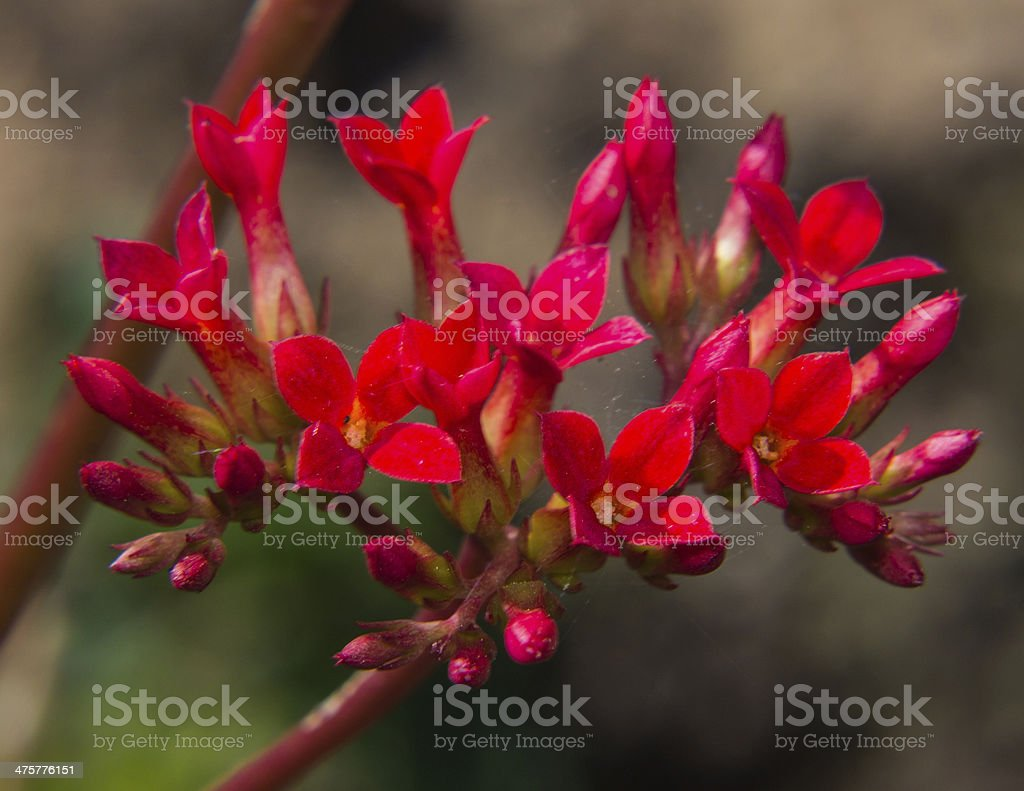 Macro Red Kalanchoe in Bloom royalty-free stock photo