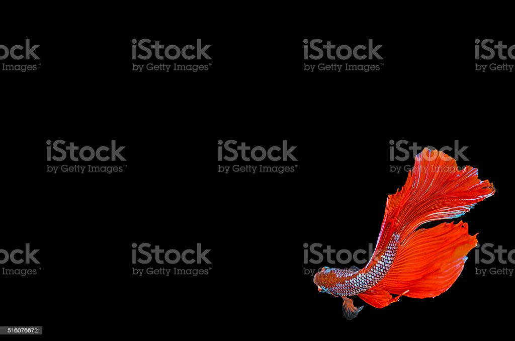 Macro red siam fighting fish are swimming stock photo