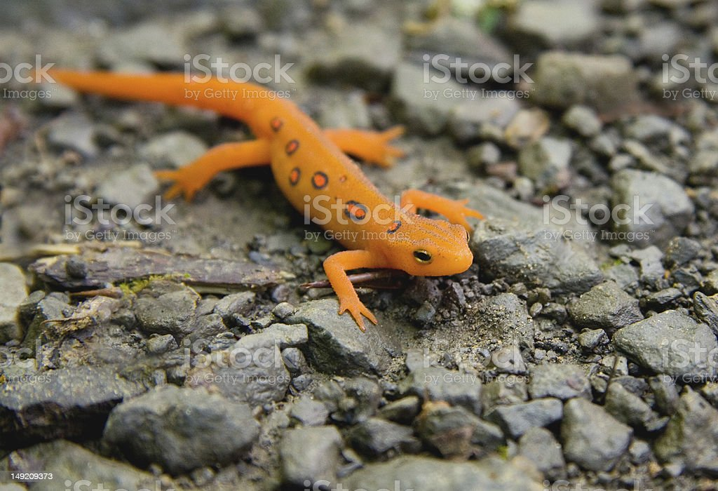 Macro Red-Spotted Newt resting on rocky pebble surface stock photo