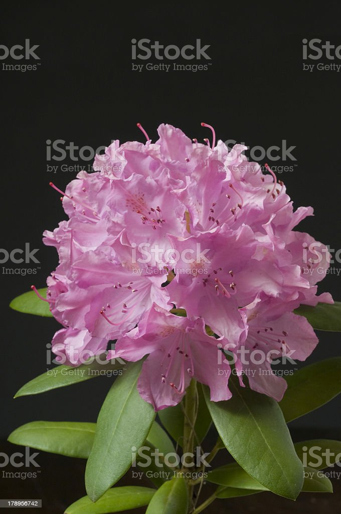 Macro Rhododendron Blossom stock photo