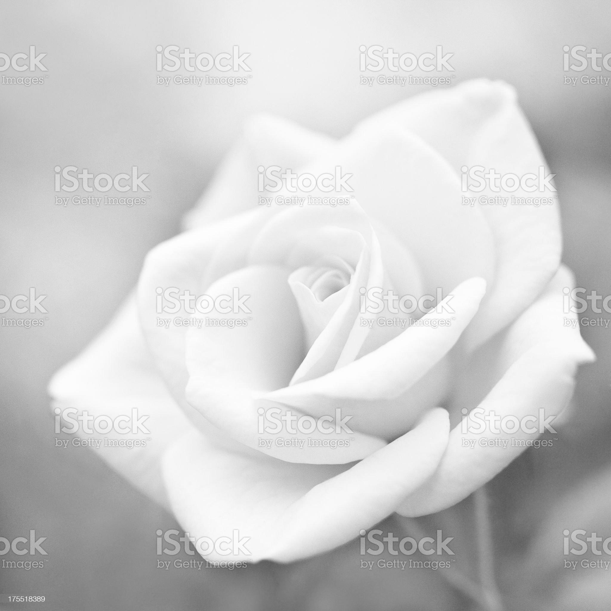 macro rose flower royalty-free stock photo