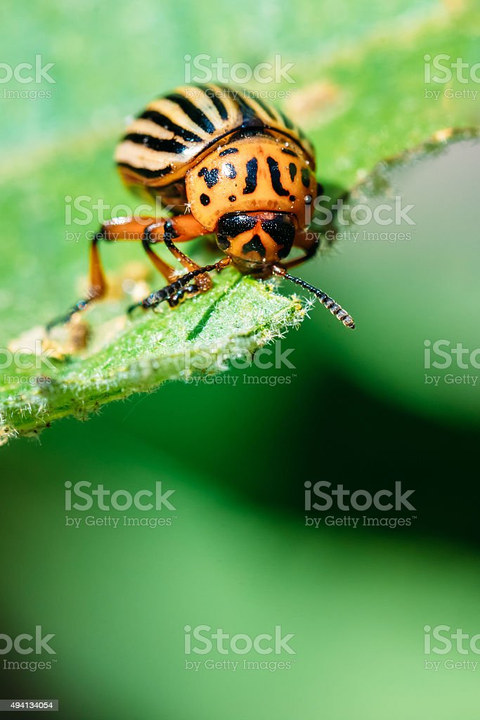 Macro shoot of potato bug on leaf stock photo